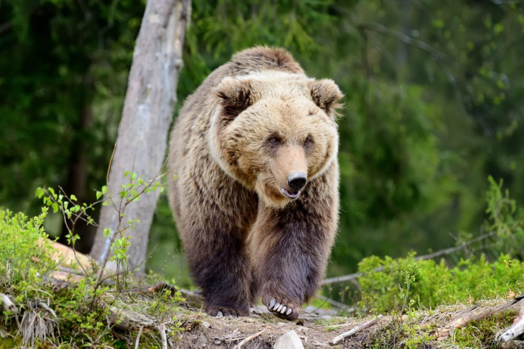 критерии бурого медведя