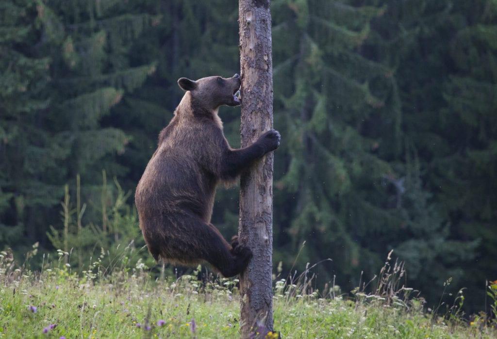 обитания бурого медведя