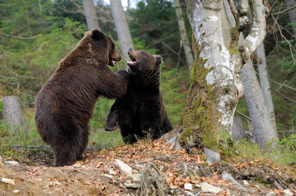 характеристика бурого медведя