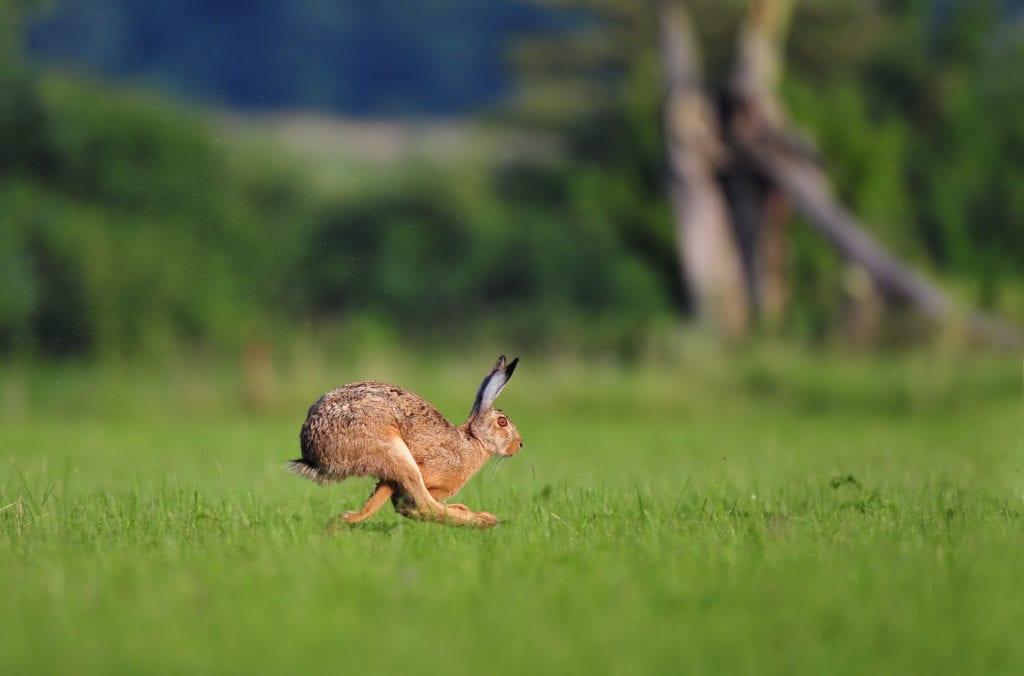 Сколько лет живет дикий заяц