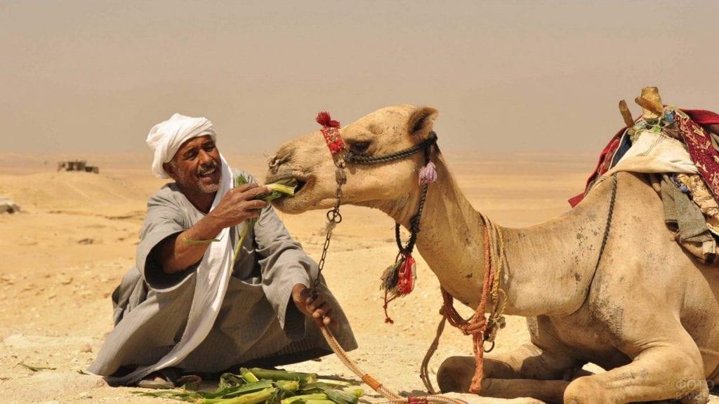 еда верблюда