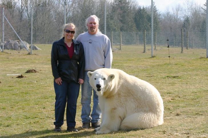 размеры белого медведя