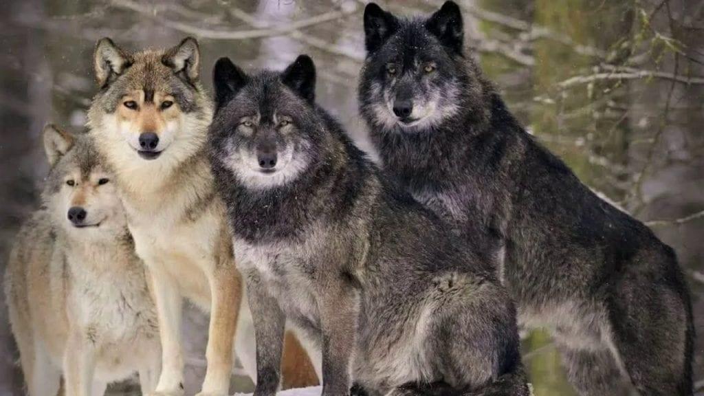 волк враг медведя