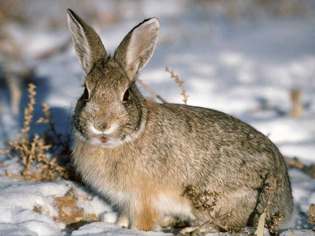 Ракитниковый заяц