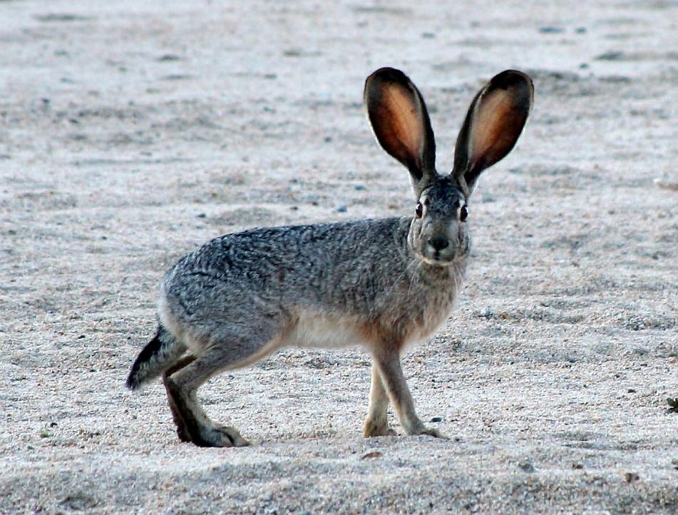 Чернохвостый заяц